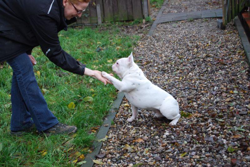 Bully Rescue Die Seite F 252 R Den French Bulldog Die Geschichte Von Spike